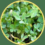 Bockshornklee Blätter